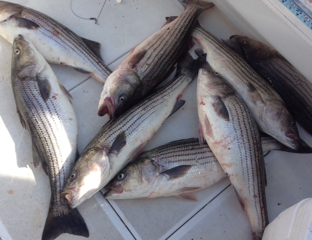 Atlantic highlands nj striped bass charters bill chaser for Atlantic highlands fishing