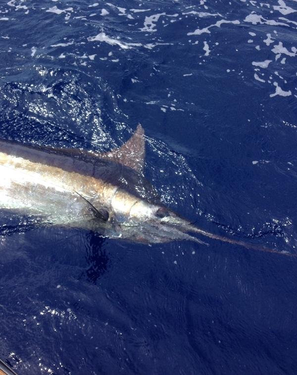 Bahamas blue marlin trip bill chaser sandy hook fishing for Blue fishing nj