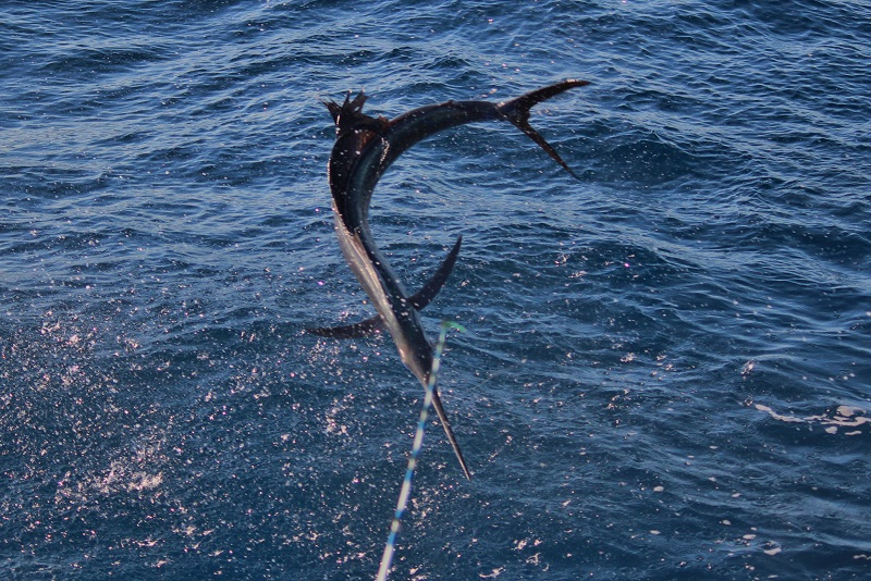 Sailfishing Charter